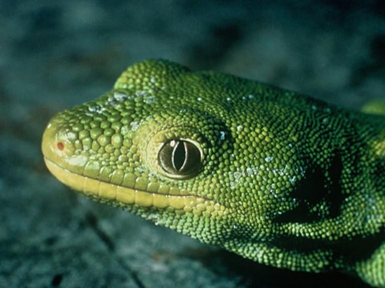 Nelson Green Gecko