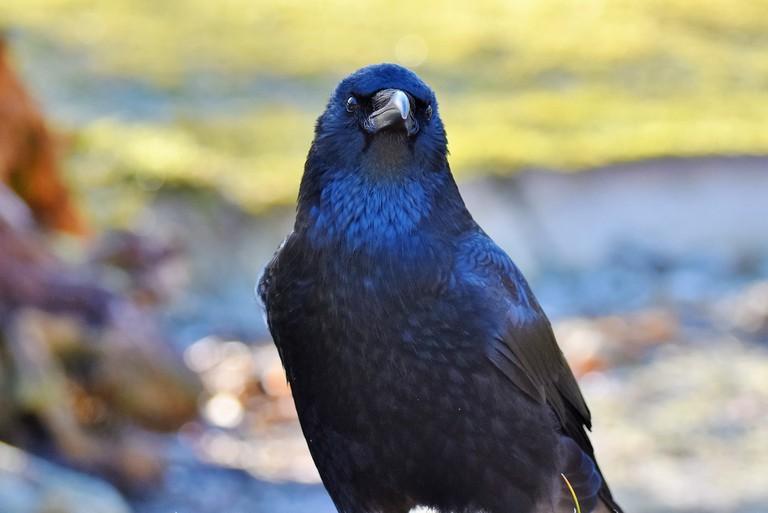 raven-3052169_1920