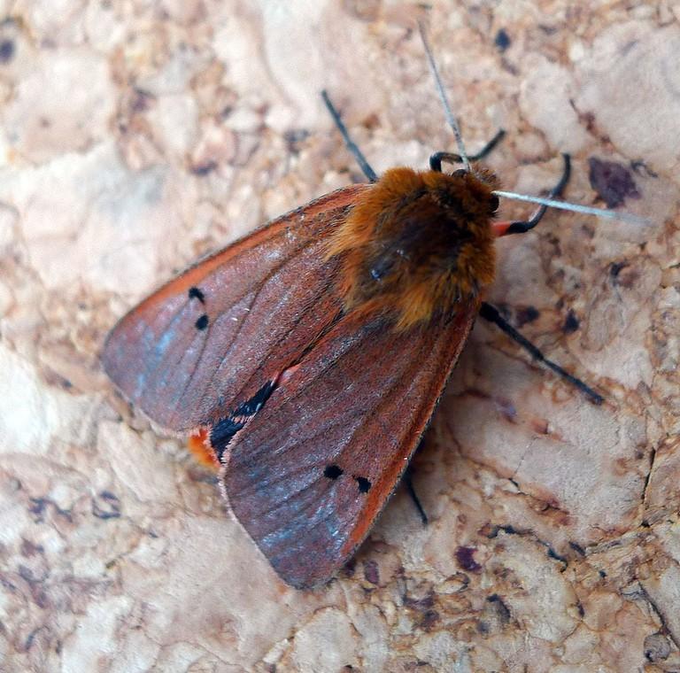 Ruby_Tiger_Moth._Phragmatobia_f._fuliginosa_-_Flickr_-_gailhampshire_(2)
