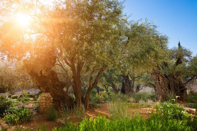 https://www.shutterstock.com/image-photo/gethsemane-olive-orchard-garden-jerusalem-israel-499504420?src=npRKOXPIMCtcBWvwQpsSqQ-1-1