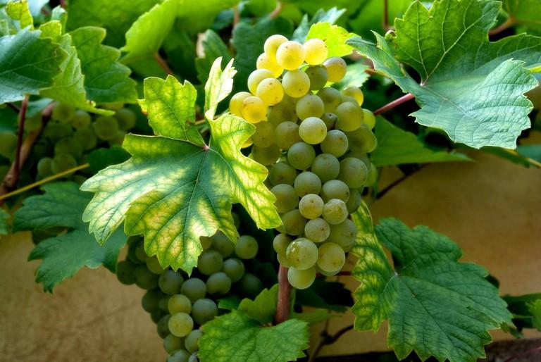 Wine Winegrowing White Vine Grapes Grape