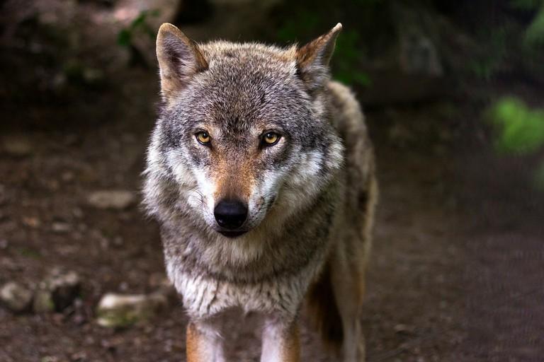 wolf-635063_1280