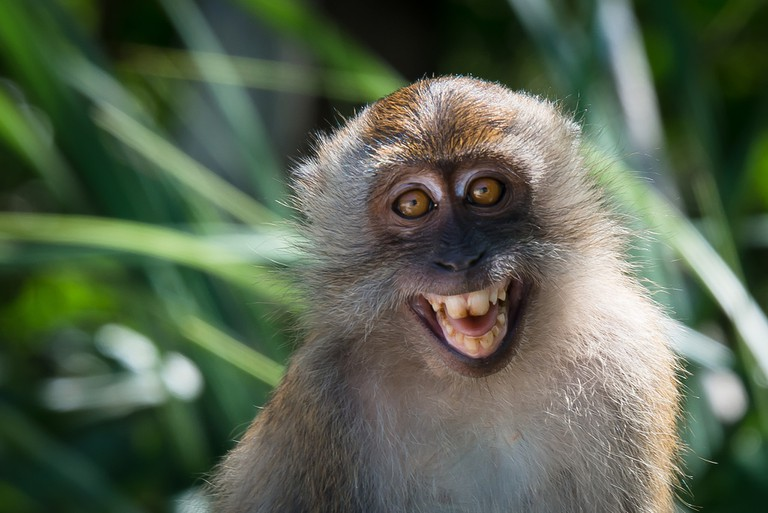 Macaque in Thailand