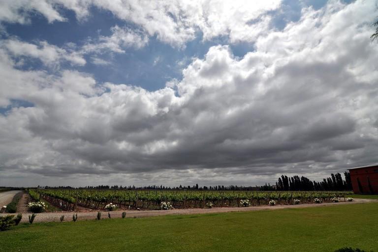A vineyard in Mendoza
