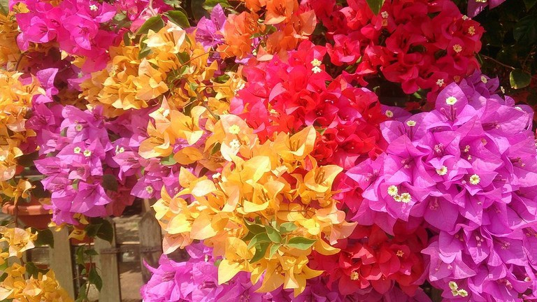 Bougainvillea_flowers_1