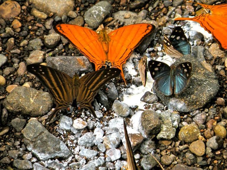 Berania's (orange) & Many-banded Daggerwings & unknown blue butterfly