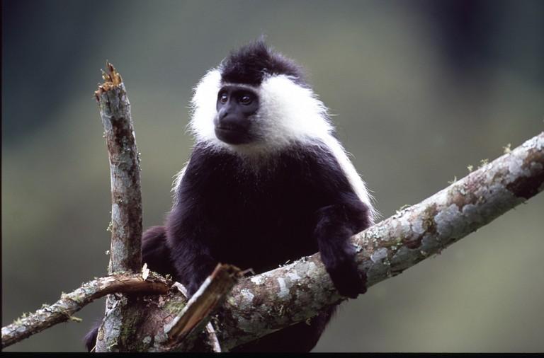 Colobus monkey in Nyungwe