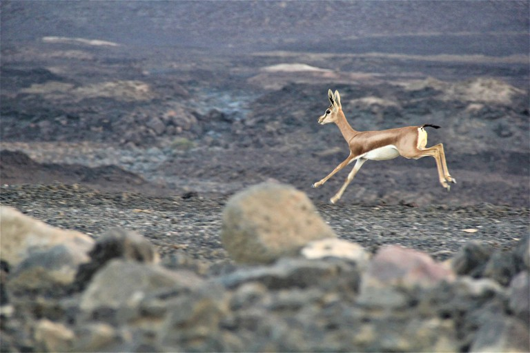 deer_travel_visit_djibouti_vacation_wildlife_solo_travel