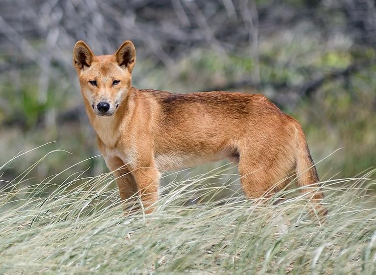 Dingo on Fraser Island | © Newretreads/Wikimedia Commons