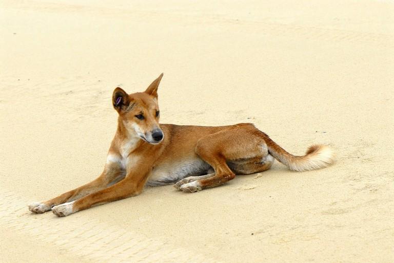 Fraser Island dingo | © Sam Fraser-Smith/Flickr