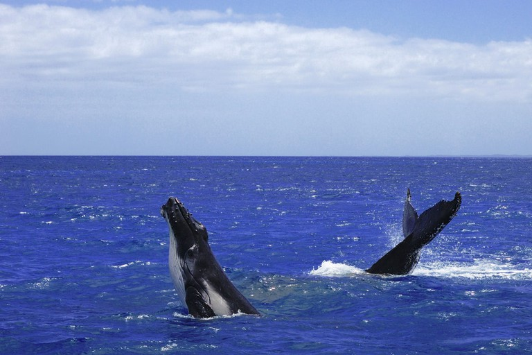 Humpback whales on the Fraser Coast | © Richard Fisher/Flickr