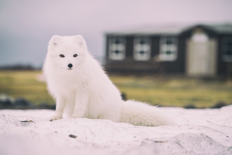 This arctic fox knows fur only looks good on animals | © Jonatan Pie/Unsplash