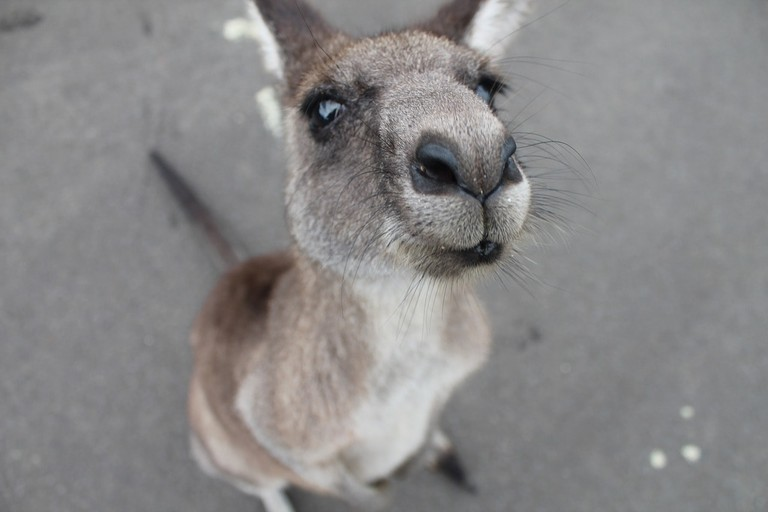 Kangaroo | © Pixabay