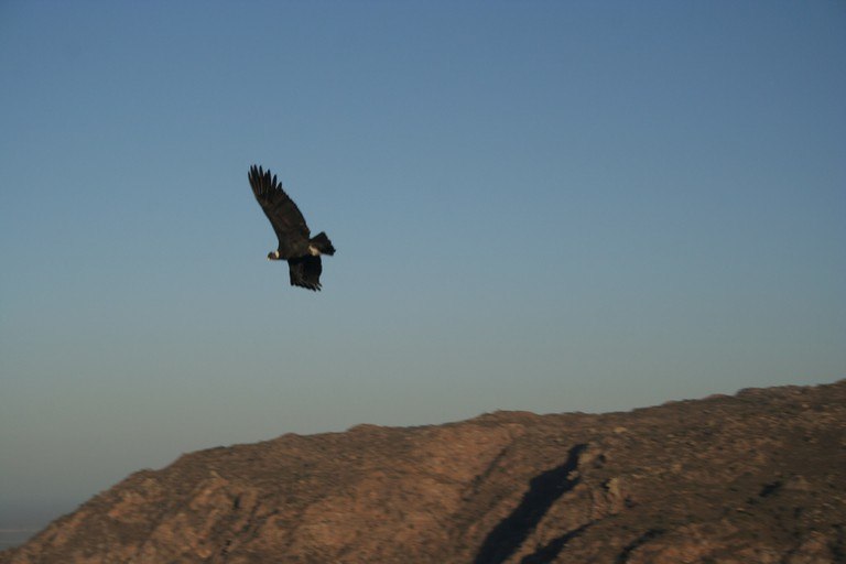 A condor flying over the lookout