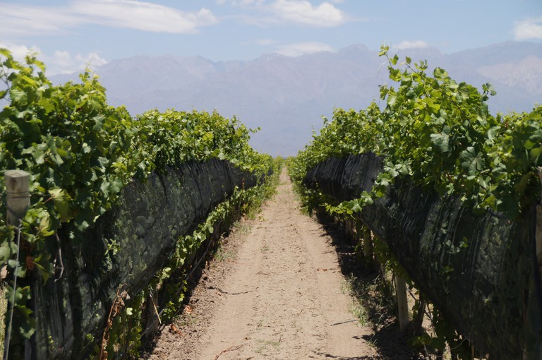 A perfect path for biking between vineyards