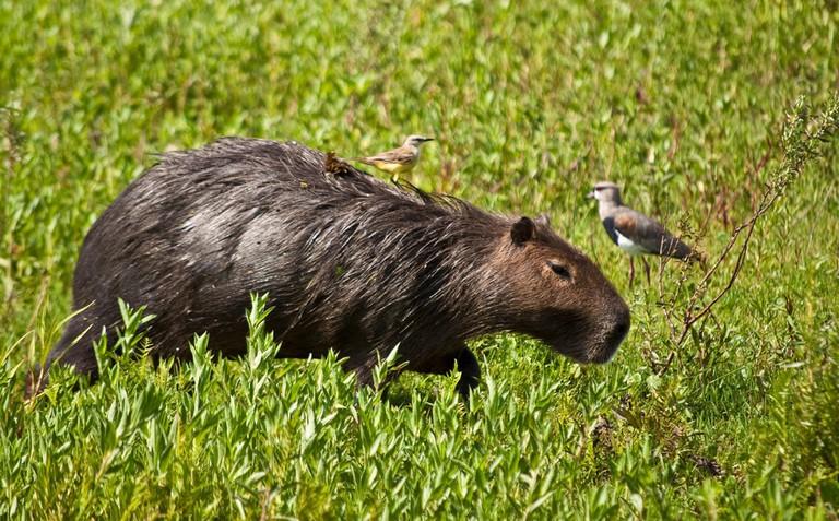 Capybara at the national park