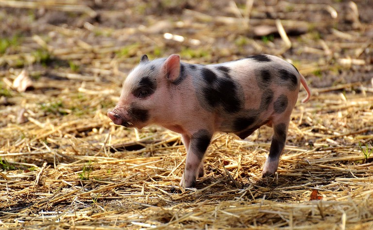 https://pixabay.com/en/piglet-young-animals-pig-small-2782611/