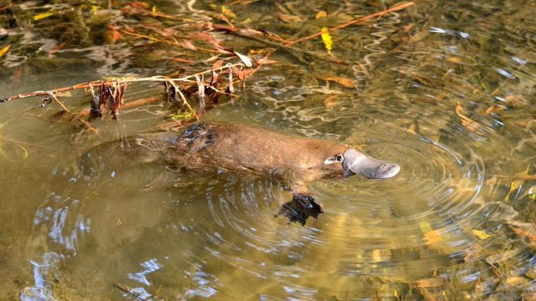 Platypus | © Klaus/Wikimedia Commons