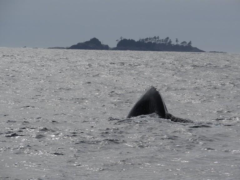 Humpback whales near Haida Gwaii | © Andrew Eames