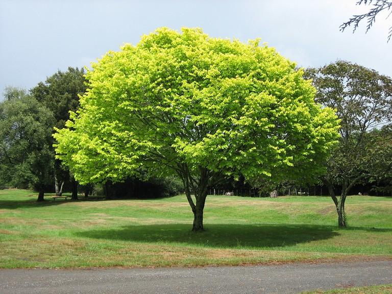 2048px-Bright_green_tree_-_Waikato