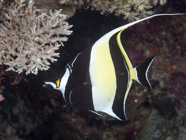 Moorish Idol| © Rickard Zerpe/Flickr