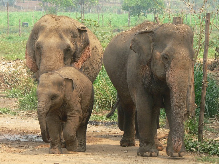 Graceful elephants in Thailand