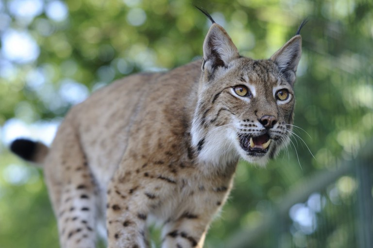 Eurasian lynx, showing some tooth