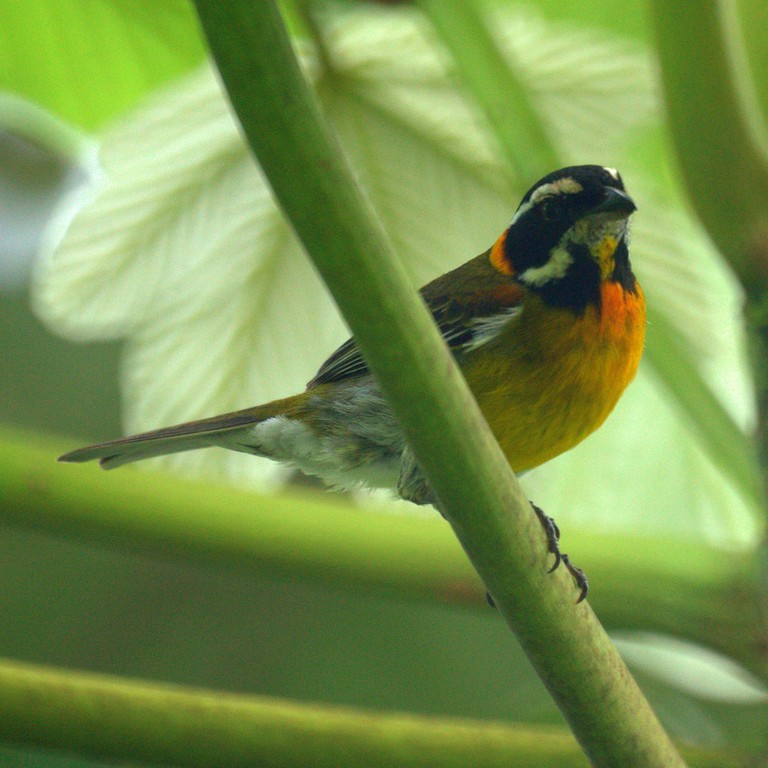 Puerto Rican stripe-headed tanager