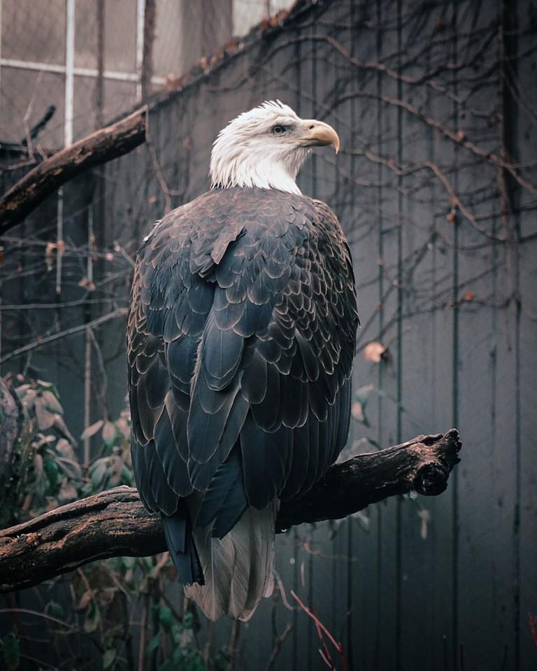 Bald Eagle | Photo by David Kindervater