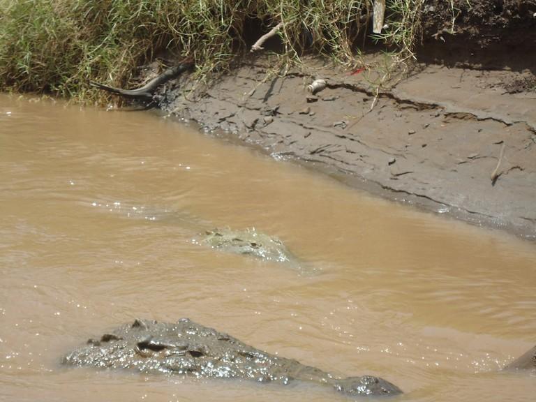 Crocodiles in a river