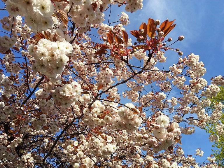Cherry_blossom_in_Hamburg