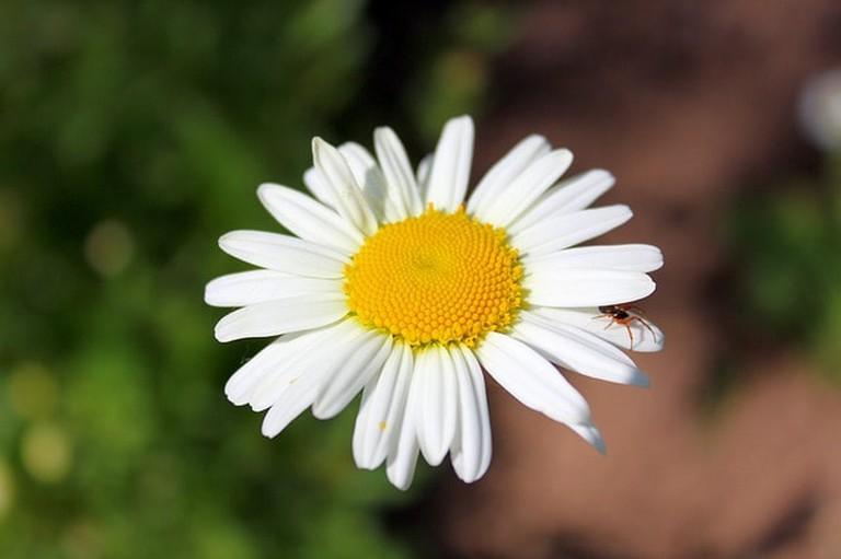 daisy-2595271_640