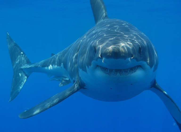Great white shark | © Hermanus Backpackers/Wikimedia Commons