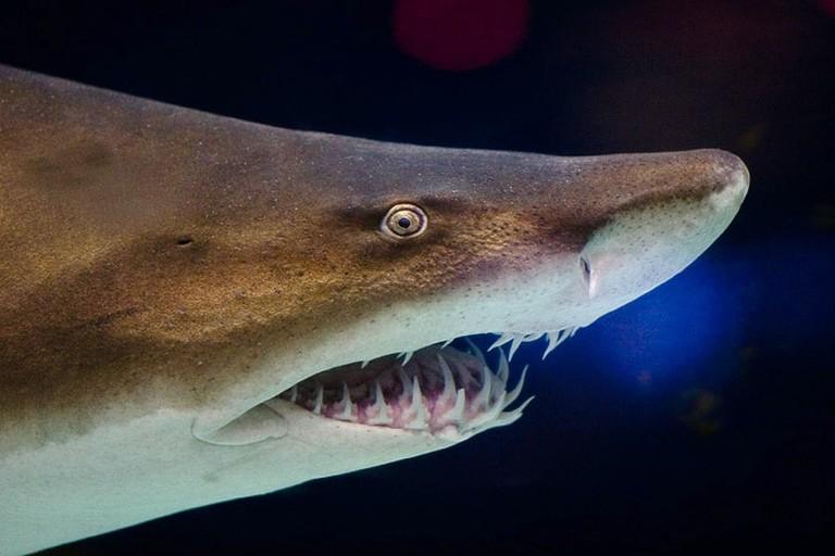 Grey nurse shark | © Jlencion/Wikimedia Commons