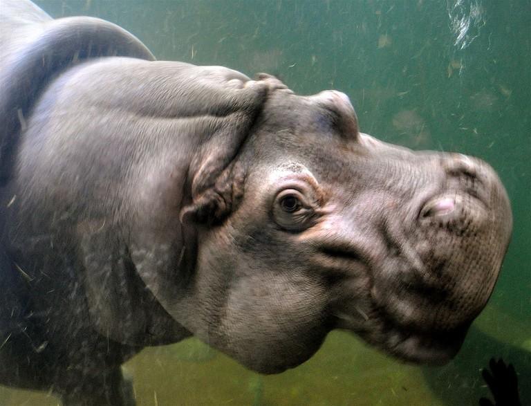 Hippopotamus_(7)