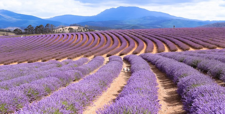 Lavender flowers in Tasmania © vijay chennupati/Flickr