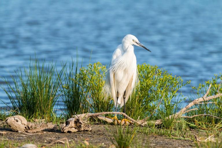 little-egret-2591578_1920