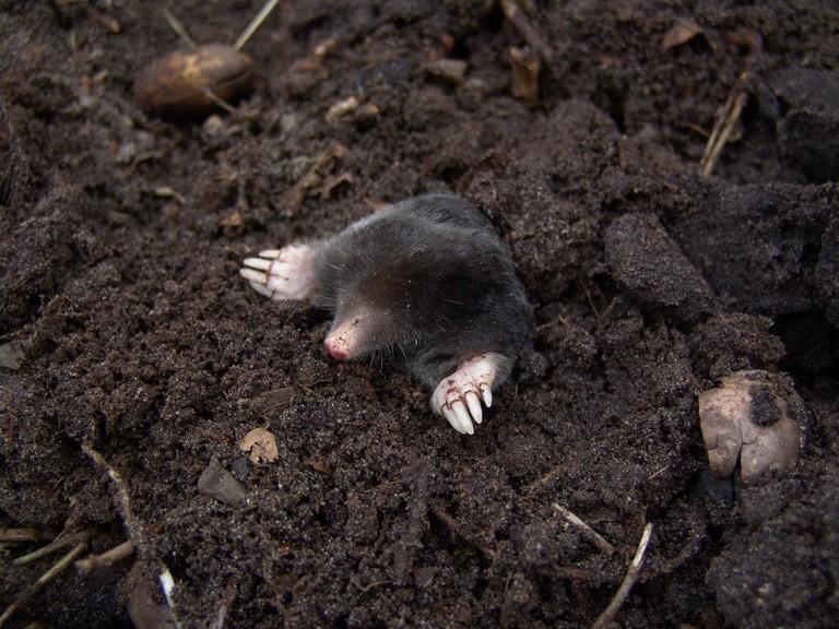 mole-nature-animals-molehills-88512