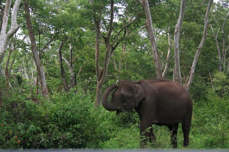 Mudumalai_National_Park_-_Elephant_4