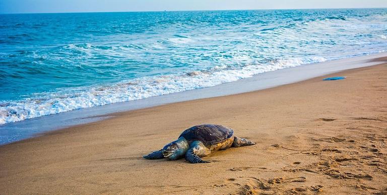 Olive_ridley_sea_turtle_(1)