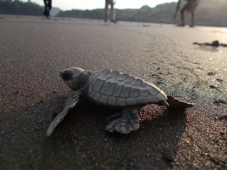 Olive_ridley_turtle_DSCN0695