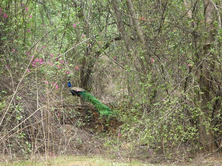 Peacock_in_its_habitat-2