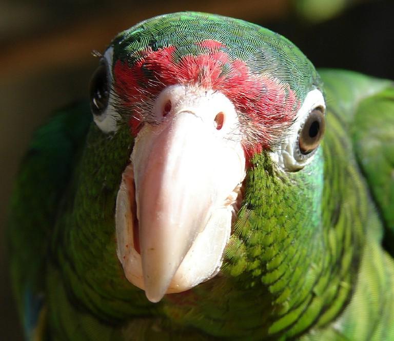 An adorable Puerto Rican parrot