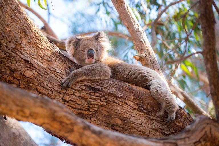 A koala on Kangaroo Island, Australia