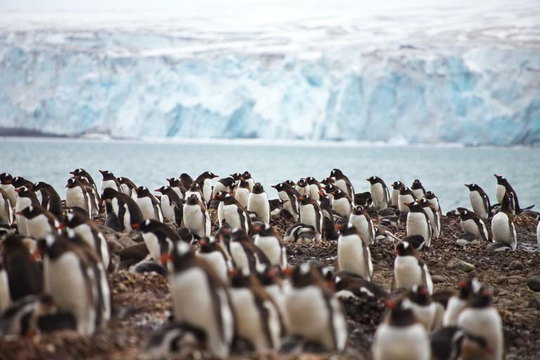 Penguins at Yankee Harbor, South Shetland Islands, Antarctica
