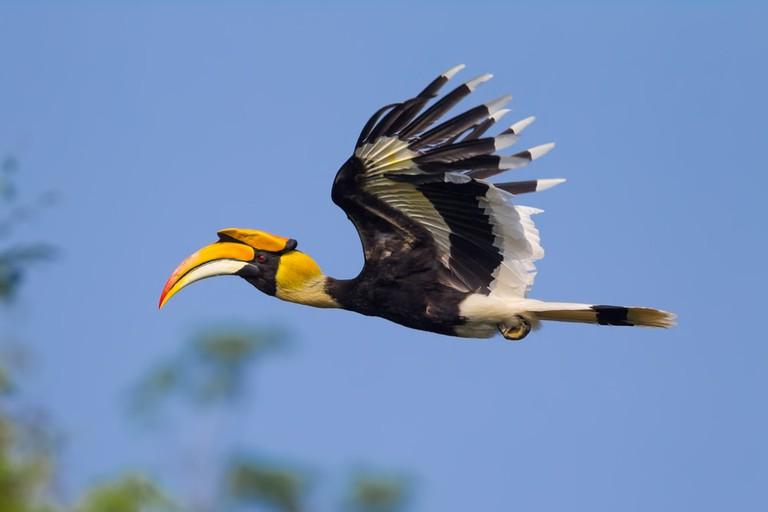 Flying Great Hornbill | ©kajornyot wildlife photography/Shutterstock