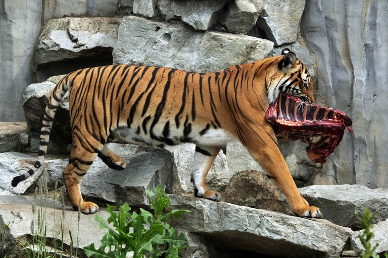 The Malayan tiger is also known to feed on livestock