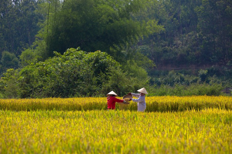 A view of rice field in morning, Quang Ngai, Vietnam   © Tran Thanh Sang/Shutterstock