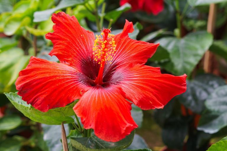 Baby hibiscus flower