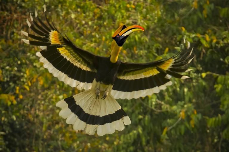 Great hornbill male flying in the nature | ©sainam51/Shutterstock